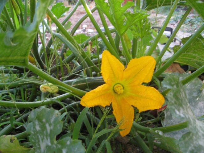 fleurs de courgette © elisa