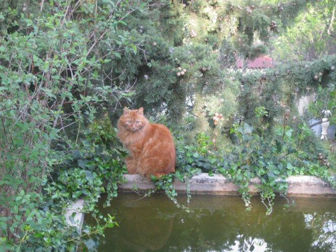 chat roux guettant les poissons rouges