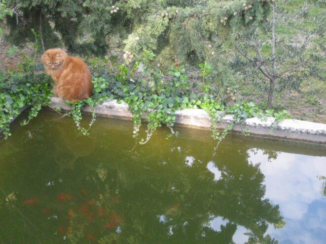 chat roux guettant les poissons rouges (2)