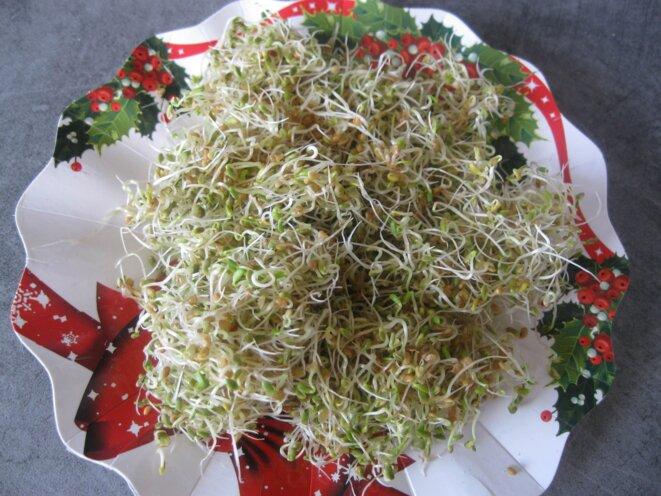 graines germées d'alfalfa © elisa
