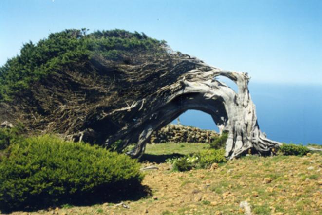 Un arbre tordu et presque couché par les vents puissants sur l'île d'El Hierro. Région du Sabinar, une forêt de genévriers de Ph © © Alain Gioda, IRD