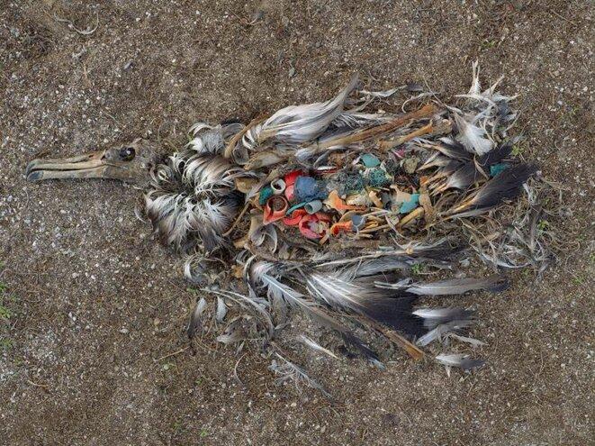 Albatros mort par ingestion de plastique © Copyright Chris Jordan