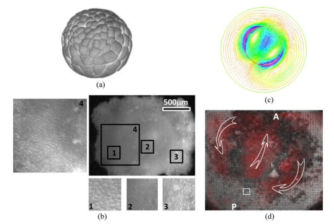 Measurement and modelling of the vortex movements in early blastulas © VF/CNRS/MSC/BIOSYSTEMS