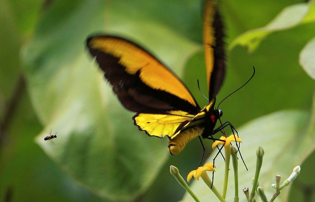 Un papillon géant, celui de Darwin en 1859, enfin retrouvé.