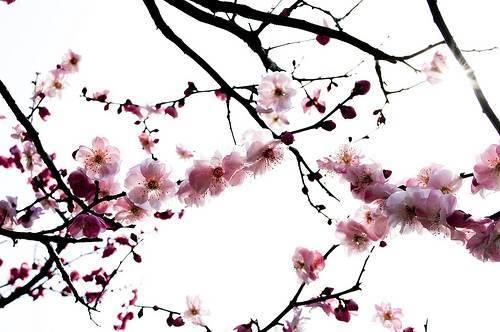 Maxalae actons blog tatouage cerisier japonais sur bras femme serpent - Cerisier en fleur dessin ...