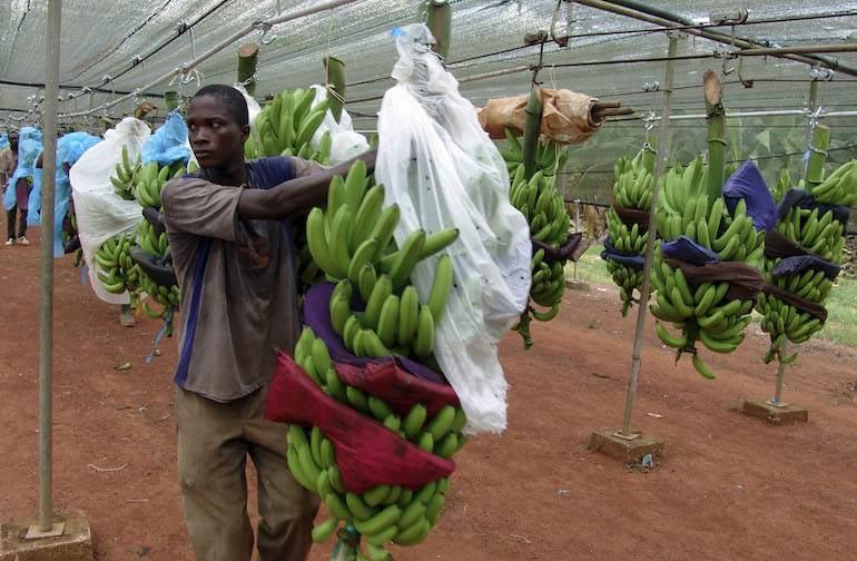 Une plantation de bananes en Côte d'Ivoire. Leurs propriétaires se sont battus en faveur de l'accord.